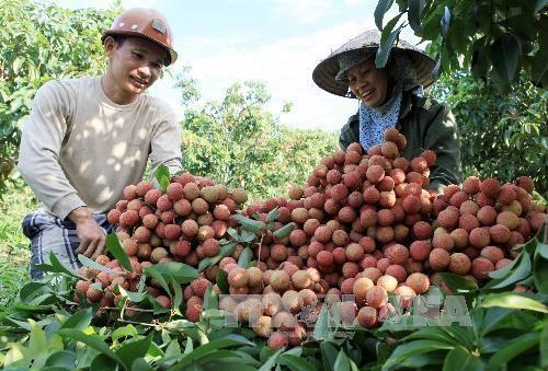 Promotion commerciale du litchi de Hai Duong dans les marches etrangers hinh anh 1