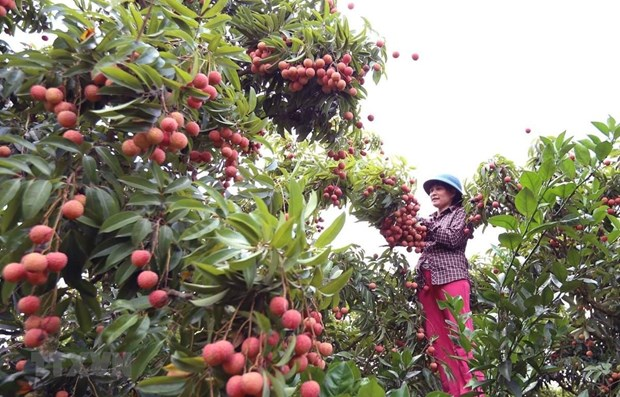 Bac Giang exportera le premier lot de litchis au Japon vers la fin de mai hinh anh 1