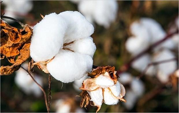 L'Inde cherche a accroitre ses exportations de coton vers le Vietnam hinh anh 1