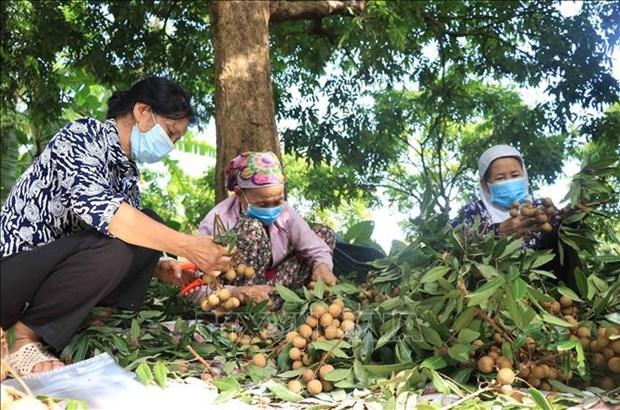 La premiere cooperative de Hung Yen exporte des longanes vers le marche de l'UE hinh anh 1