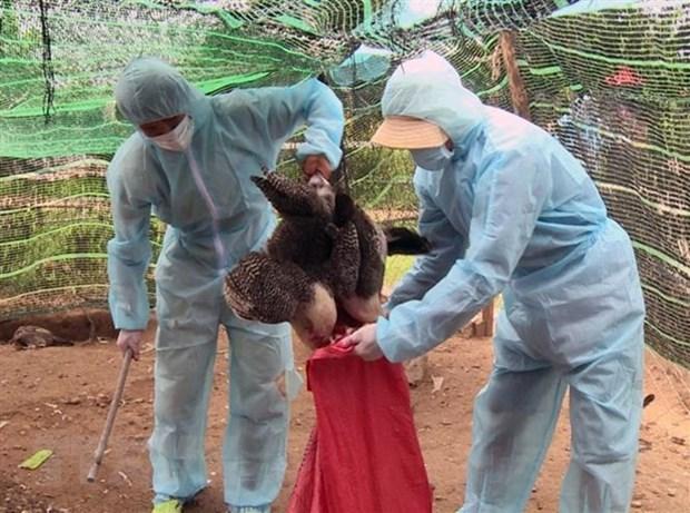 Approbation du Plan national de prevention et de lutte contre la grippe aviaire hinh anh 1