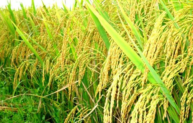 Il est necessaire de developper les chaines de valeur de riz hinh anh 1