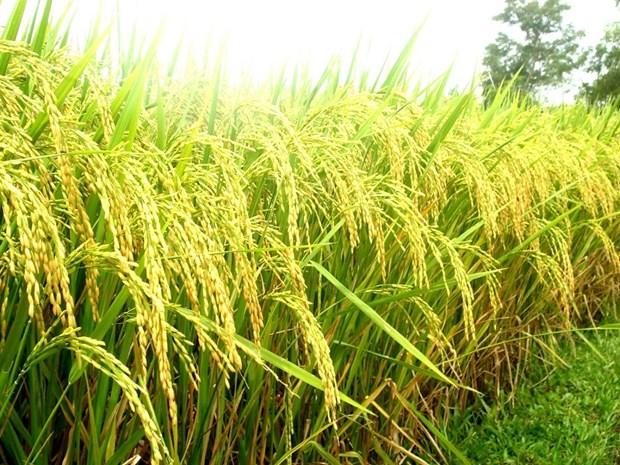 Regard retrospectif sur 30 ans d'exportation vietnamienne de riz hinh anh 1
