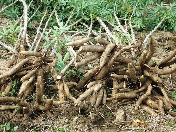 Manioc et produits derives: la chute se poursuit en 10 mois hinh anh 1