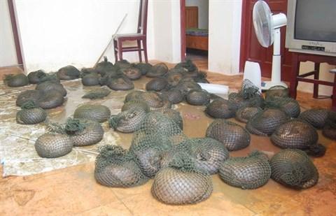 Sauvetage de 63 pangolins par le centre Save Vietnam's Wildlife hinh anh 1