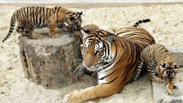 Le Vietnam ne recense que 20 tigres d'Indochine hinh anh 1