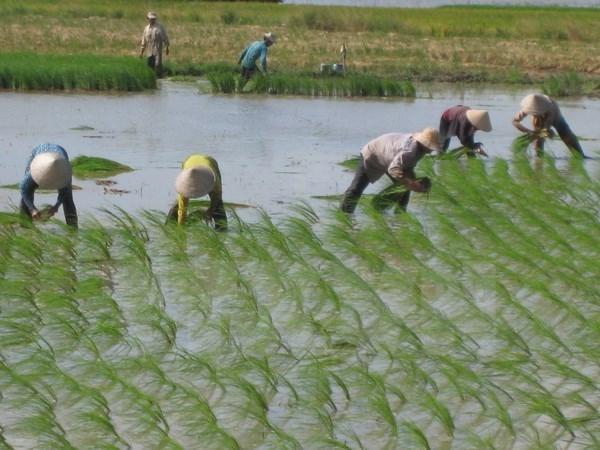 La riziculture a faibles emissions de CO2, l'une des priorites du Vietnam hinh anh 1