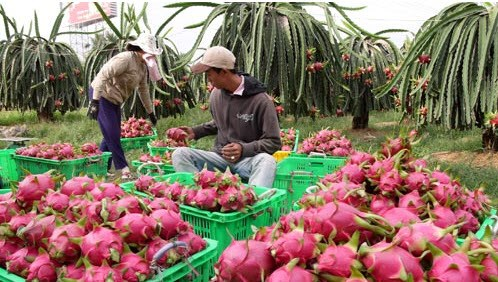 Fruits et legumes: 2 milliards de dollars d'exportation en 2015 hinh anh 1