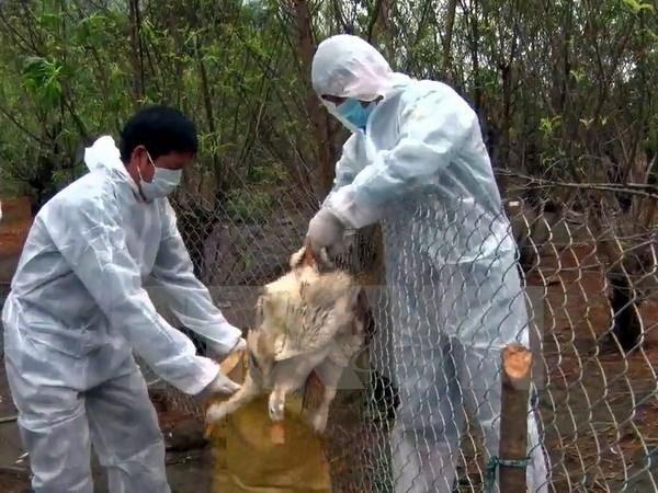 Lai Chau : decouverte de deux foyers de grippe aviaire A/H5N6 hinh anh 1