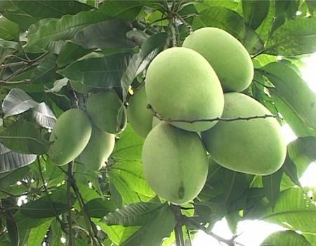 Les mangues de Cat Chu seront exportees au Japon hinh anh 2