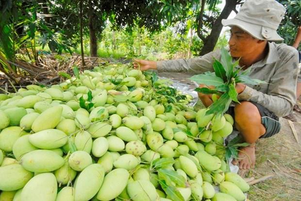 Les mangues de Cat Chu seront exportees au Japon hinh anh 1