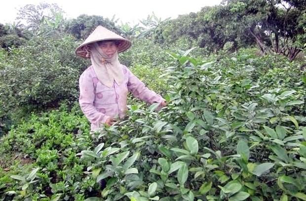 Des millions de dollars d'exportation de feuilles de citronnier hinh anh 1