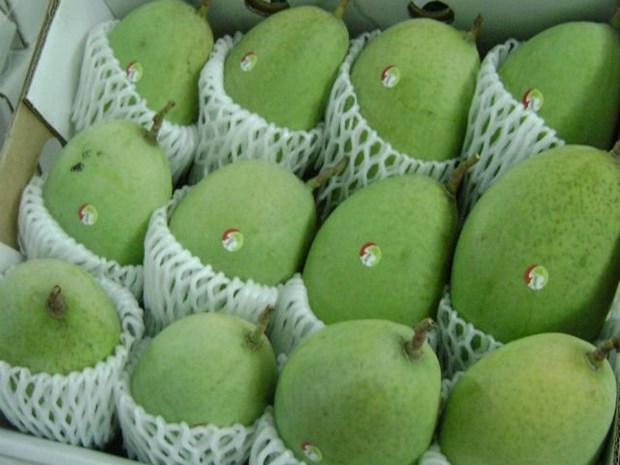 Les mangues vietnamiennes appreciees au Japon hinh anh 1