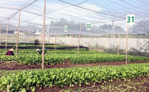 Dong Nai: une ferme de legumes aux normes de l'agriculture bio europeennes et americaines hinh anh 1