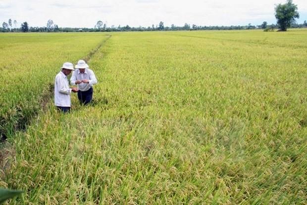 Ha Nam: production experimentale du riz Japonica hinh anh 1