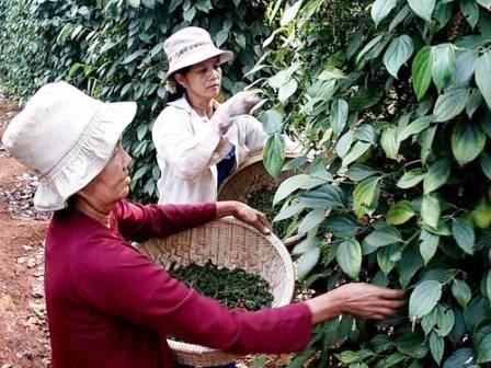 Etats-Unis, le plus grand debouche pour le poivre vietnamien hinh anh 1