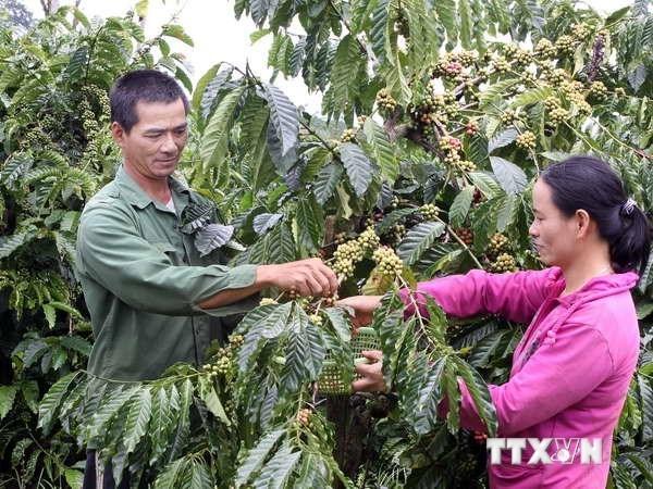 Les exportations de cafe bien transforme en forte croissance hinh anh 1