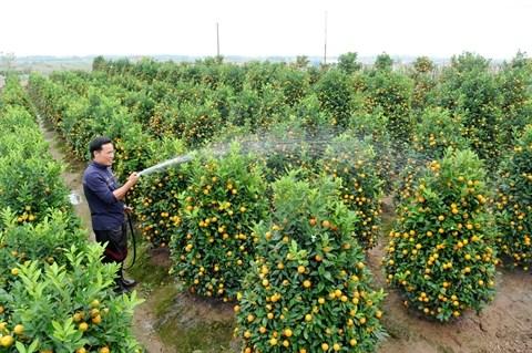 Cultivateur de kumquats et pechers, un metier anxiogene hinh anh 1
