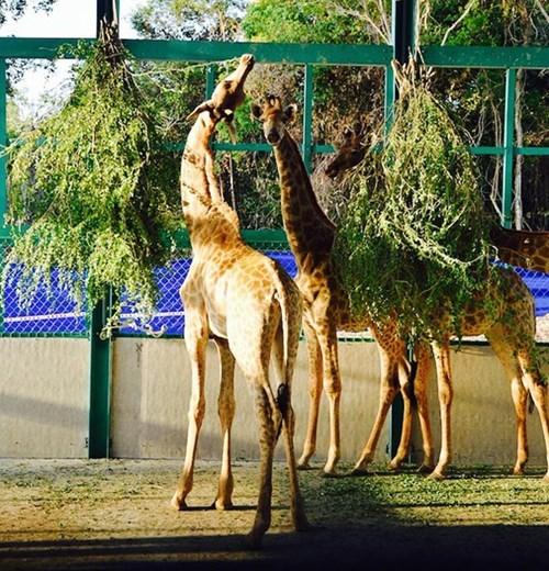 Inauguration du Parc Vinpearl Safari Phu Quoc hinh anh 4