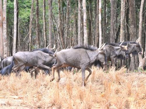 Inauguration du Parc Vinpearl Safari Phu Quoc hinh anh 2