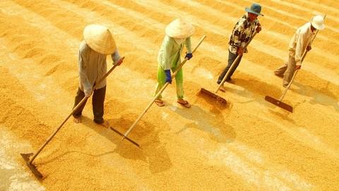La production de riz estimee a 45,2 millions de tonnes hinh anh 1