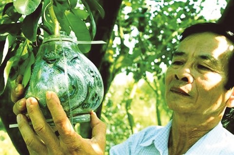 Des pamplemousses patriotiques venus du delta du Mekong hinh anh 1