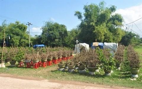 La saison commence au village d'abricotiers de Nhon An hinh anh 1