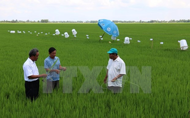 Application de 46 normes internationales sur la production durable du riz au Vietnam hinh anh 1