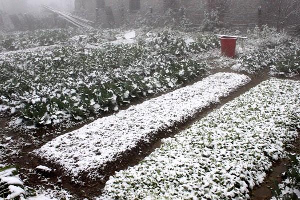 Lourdes pertes dans diverses localites a cause du froid hinh anh 1