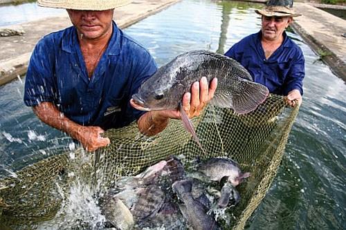 Aquaculture : le Vietnam participera a un projet regional finance par la FAO hinh anh 1