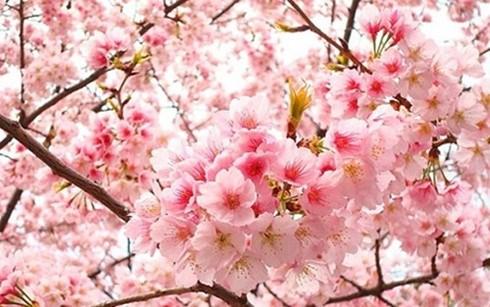 Plantation de cerisiers a Hanoi hinh anh 1