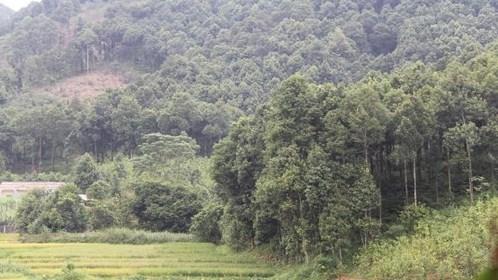 Nouvelle ruralite : le cannelier, «l'arbre de vie» des Dao de Yen Bai hinh anh 3