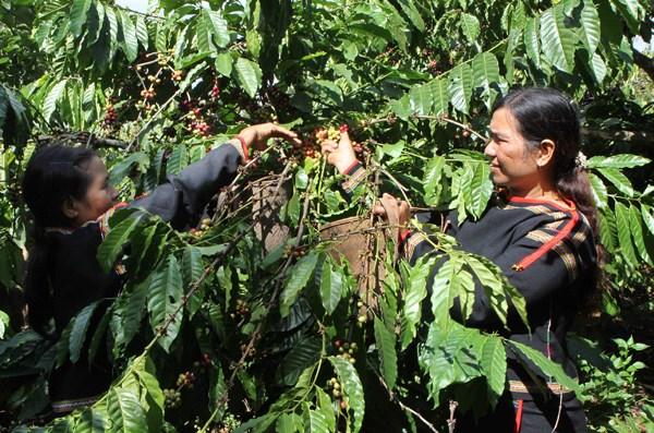 Tay Nguyen : plus de 20.800 hectares de cultures touchees par la secheresse hinh anh 1