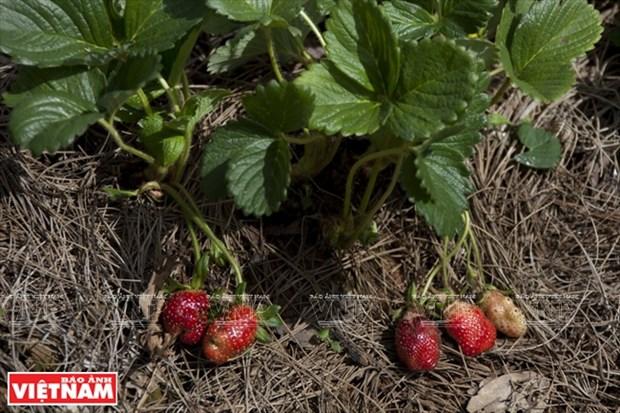 Tourisme dans les fermes de fraisiers a Da Lat hinh anh 1