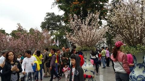 Ho Chi Minh-Ville va feter les cerisiers en fleurs hinh anh 1