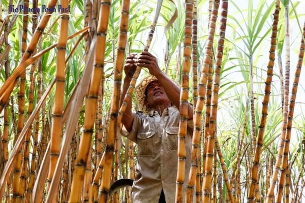 Le Cambodge inaugure la plus grande sucrerie d'Asie hinh anh 1