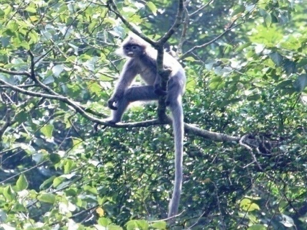 Thanh Hoa : un groupe de primates rares en passe de disparaitre hinh anh 1