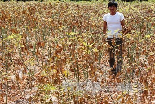 Aide japonaise pour la culture durable du manioc au Vietnam hinh anh 1
