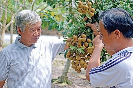 Dong Thap: Une fruiticulture fructueuse hinh anh 1
