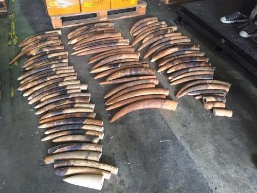 Singapour detruit 7,9 tonnes d'ivoire de contrebande hinh anh 1