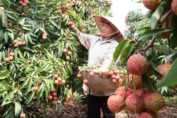 Les entreprises australiennes et malaisiennes apprecient les litchis de Bac Giang hinh anh 1