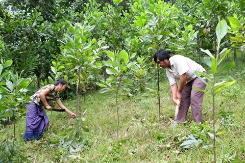 Des acacias pour reverdir les terres degradees hinh anh 1