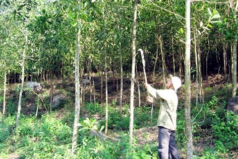 Des acacias pour reverdir les terres degradees hinh anh 2