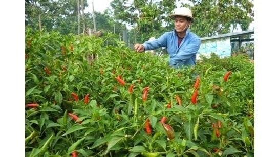 Piment : un projet sud-coreen de 2,1 millions de dollars a Ninh Thuan hinh anh 1