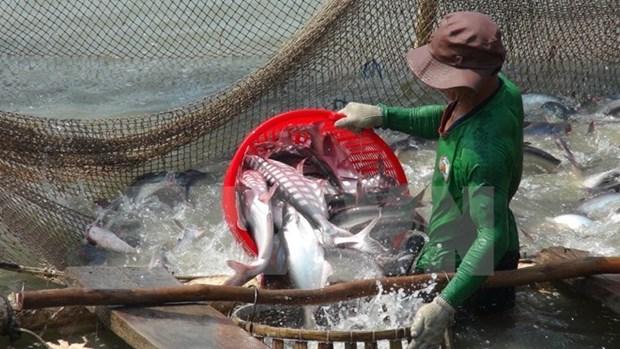 Les exportations de pangasius atteignent 616 millions de dollars au premier semestre hinh anh 1