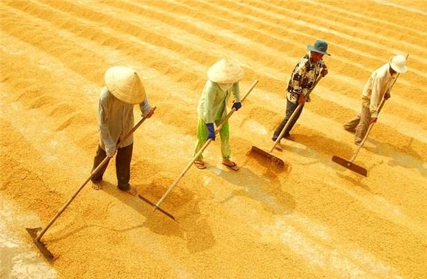 Le Vietnam exporte 2,65 millions de tonnes de riz au 1er semestre de 2016 hinh anh 1