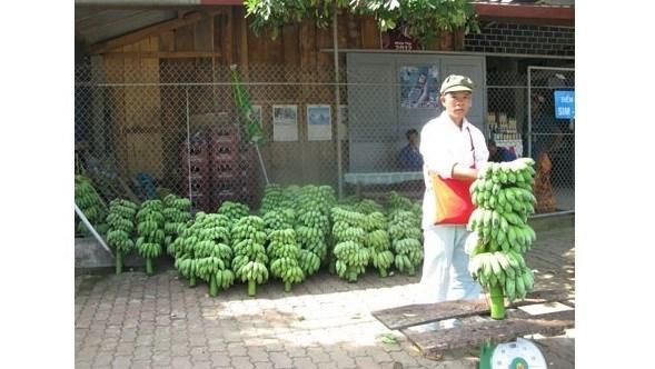 Nouvelle ruralite: Les agriculteurs frontaliers de Huoi Luong misent sur la bananiculture hinh anh 1