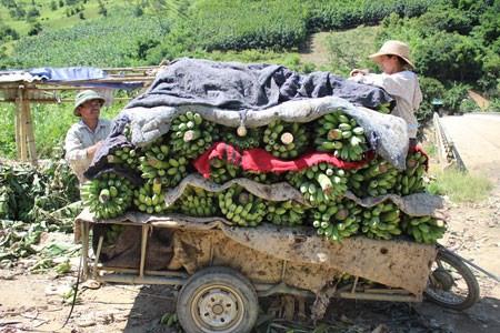 Nouvelle ruralite: Les agriculteurs frontaliers de Huoi Luong misent sur la bananiculture hinh anh 2