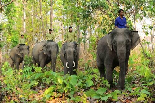 Bientot la Semaine de la conservation des elephants a Quang Nam hinh anh 1