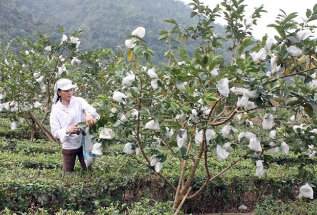 Pres de 74 millions de dollars d'aides pour les paysans de Cao Bang et Bac Kan hinh anh 1